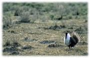 Sage Grouse in Shrub Steppe