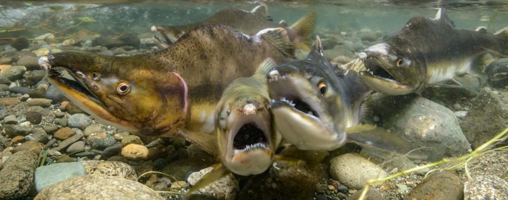 Group of 4 salmon